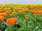 Ocean of Marigolds by FrankieCat