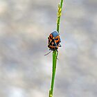 Harlequin Bug by Susan S. Kline
