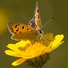 Small Copper by Neil Bygrave (NATURELENS)