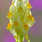 Toadflax by Neil Bygrave (NATURELENS)