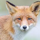 Fox Portrait by Jeffrey Van Daele