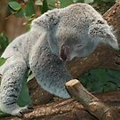 Sleeping Koala Bear by TilenHrovatic