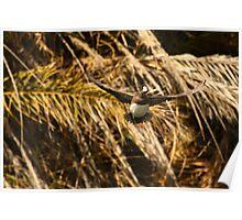 American Wigeon Duck In Flight. Poster