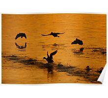 Ducks At Sunset. Poster