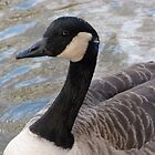 Canada Goose on Reflective waters by Sandra Caven