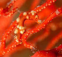 Denise's Pygmy Seahorse - Hippocampus denise by Andrew Trevor-Jones