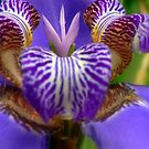 Iris Unknown by paintingsheep