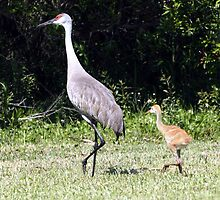 SAND HILL CRANE & CHICK by TomBaumker