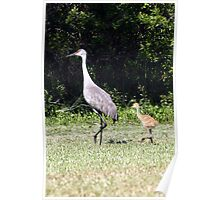 SAND HILL CRANE & CHICK Poster