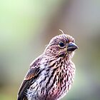 Tiny Sparrow... by tracielouise