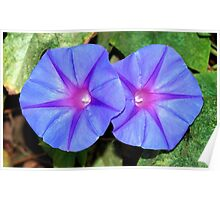 Vivid Blue, Purple and Pink Ipomoea Flowers Poster