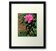 A Rose from the Garden Framed Print