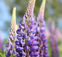 Graceful Lupins by Tracy Friesen