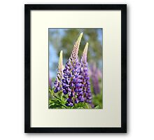 Graceful Lupins Framed Print