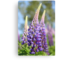 Graceful Lupins Canvas Print