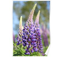 Graceful Lupins Poster