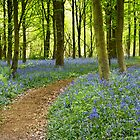 Bluebell Wood by vivsworld