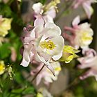 Aquilegia or Columbine flowers. by David A. L. Davies