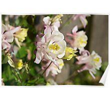 Aquilegia or Columbine flowers. Poster