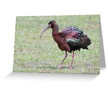 White-faced Ibis Greeting Card