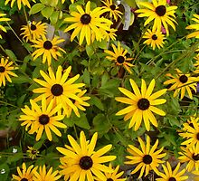 Rudbeckia by Vicki Spindler (VHS Photography)