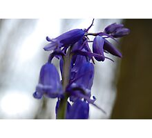 Bluebell Photographic Print