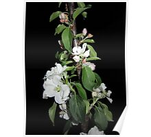 Apple blossom at night Poster