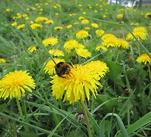 Bumble bee on dandelion by Eleanor11