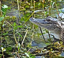 Little Gator by Jeff Ore