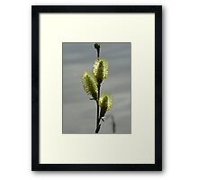 Blooming catkins Framed Print