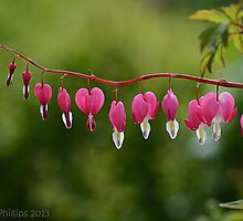bleeding hearts by AlisonPhillips