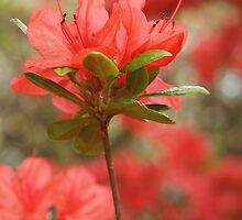 Red Azalea Blossom by Linda  Makiej