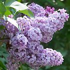 Lovely Lilacs by Uni356