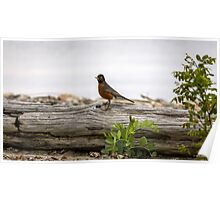Robin on a Log Poster
