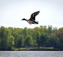 Flight of the Drake by Mikell Herrick