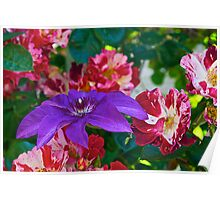 Clematis and Roses Poster
