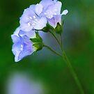 Glorious Greek Valerian Blossoms by Anita Pollak