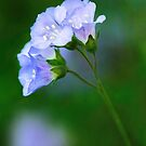 Glorious Greek Valerian Blossoms by Anita Pollak