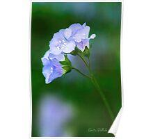 Glorious Greek Valerian Blossoms Poster