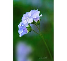 Glorious Greek Valerian Blossoms Photographic Print
