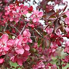 Crabapple Blossoms by Kelley Shannon