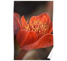 Paintbrush Lily Poster