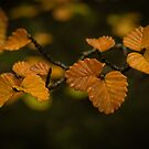 Fagus leaves (nothofagus gunnii) by Rosie Appleton