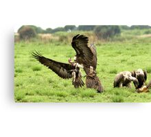 Vultures cleaning up  Canvas Print