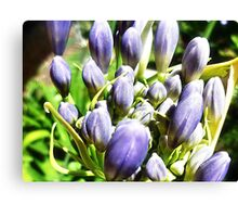 Agapanthus ready to burst forth - Garden, 2012 Canvas Print