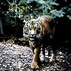 Tiger  by Pant52005