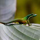 Day gecko ( Phelsuma Lineata ) view 2 - antasibe  Madagascar by john  Lenagan