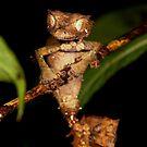 view 2 of  Satanic Gecko ( Uroplatus phatasticus ) Antasibe Madagascar by john  Lenagan