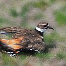 Killdeer - Off To Heaven by Lynda  McDonald