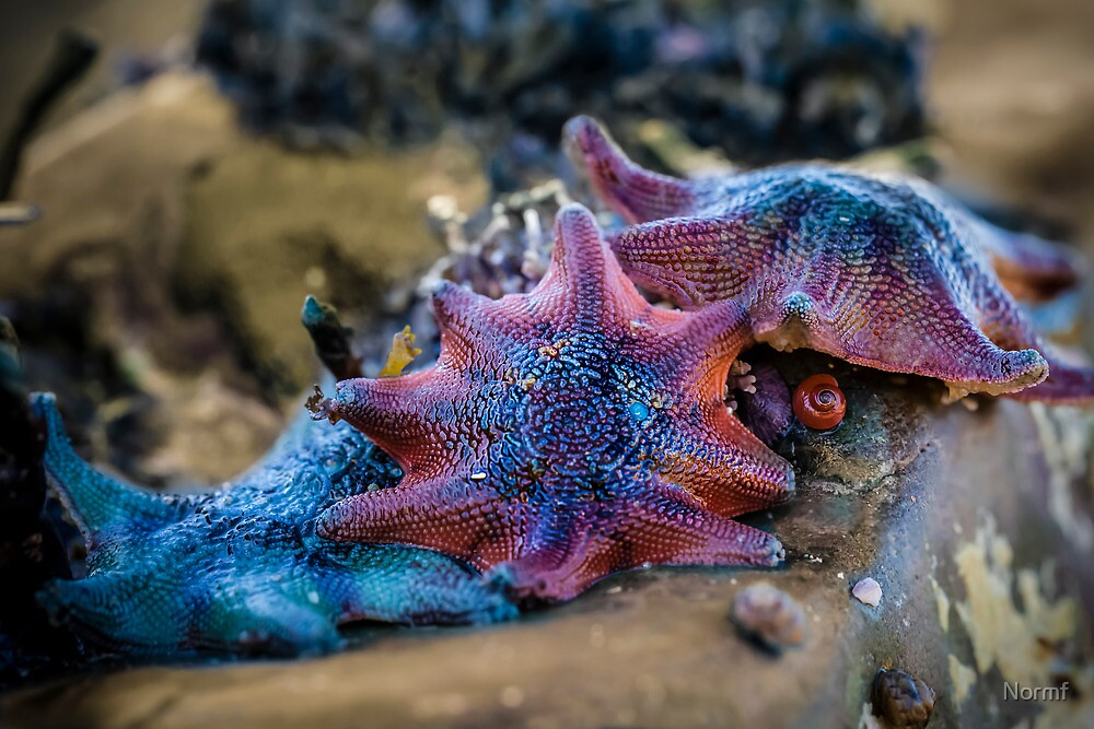 Carpet Sea Star  by Normf